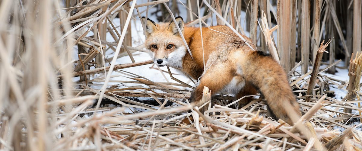 During a winter morning on Jan. 23, 2015, young adult fox is pictured before being released from a cable restraint on campus near the Lakeshore Nature Preserve at the University of Wisconsin-Madison as part of a research effort to study the behavior of growing fox and coyote populations in the city of Madison. The research, called the UW Urban Canid Project and led by David Drake, associate professor of forest and wildlife ecology, involves setting fox and coyote restraints, checking the traps twice a day, recording the animals' medical information and attaching radio collars to allow future monitoring. (Photo by Jeff Miller/UW-Madison)
